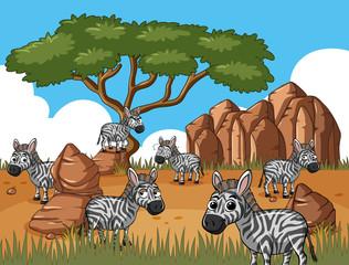 Zebras in savanna field