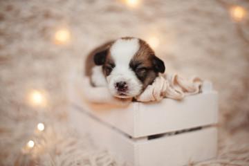 Corgi puppies/Corgi/Studio session with Corgi puppies
