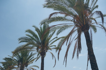 beautiful palms on clean sky
