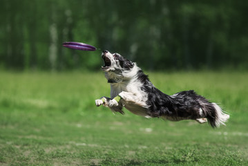 Border Collie catching a Frisbee Disc