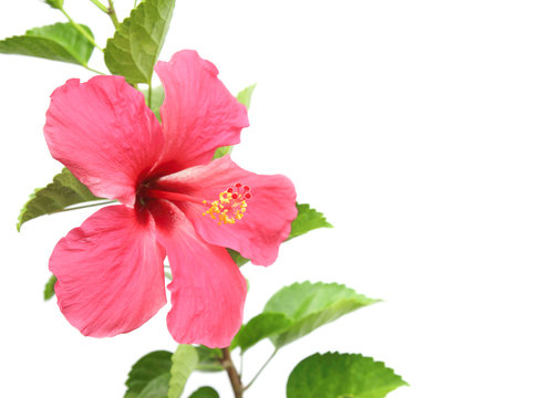 Beautiful pink hibiscus flower on white background