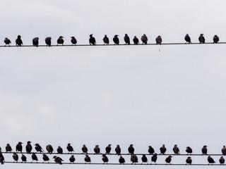 Great flock, Common starling, Sturnus vulgaris, Romania