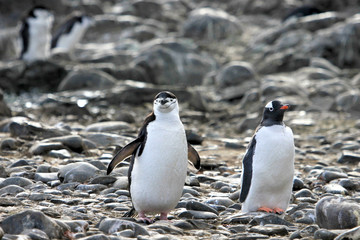A Chinstrap Penguin on the left and a Gentoo Penguin on the right, Antarctic Peninsula, Antarctica