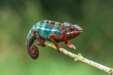 Chameleon Furcifer pardalis Ambolobe 2 years old, Madagascar endemic Panther chameleon in angry state, pure Ambilobe (Chamaeleoninae)