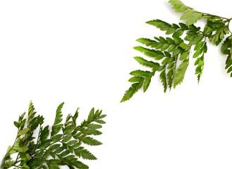 fresh light green leave on white background for spring summer concept.