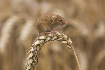 Harvest mouse (Micromys Minutus) sat on head of corn, Hertfordshire , UK