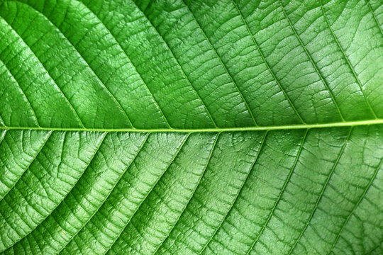 Texture of green leaf of Magnoliopsida plant type for background