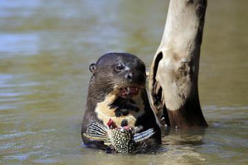 Giant Otter Feeding in the River. Pantanal, Brazil