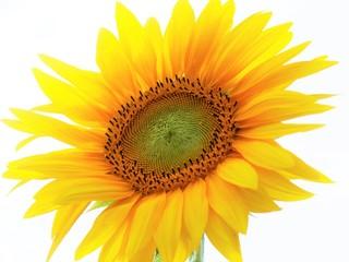 Fototapeta Lato i słonecznik