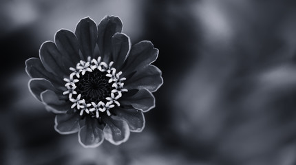 Elegant black white floral ornamental background. Blooming Zinnia flower close-up photography. Selective focus.