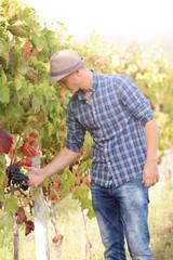 Handsome young vintner is harvesting grapes in vineyard