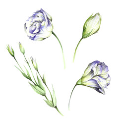 Set with flowers eustoma. Hand draw watercolor illustration