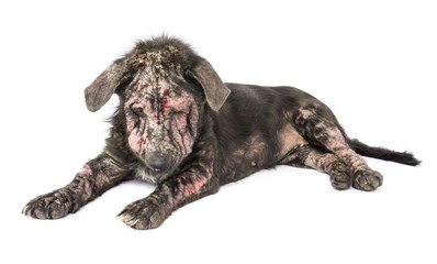 Closeup dog sick leprosy skin problem with white background