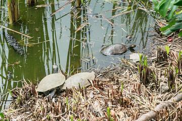 Turtles in their habitat