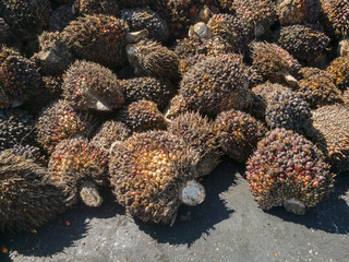 Oil palm fruits to be processed at palm oil mill