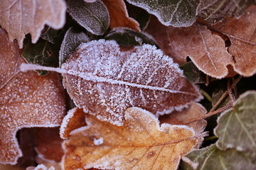 Autumn leaves in a hoarfrost in brown tones. Autumn frosts.  autumn frozen leaves background