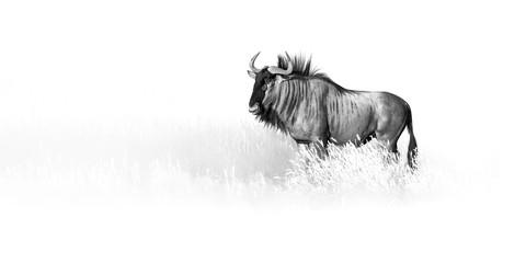 Artistic, black and white photo of Blue wildebeest, Connochaetes taurinus, large antelope walking in dry grass  in Kalahari desert.  Wildlife photography in Kgalagadi. Animal fine art.