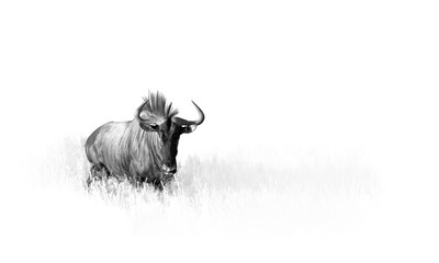 Artistic, black and white photo of Blue wildebeest, Connochaetes taurinus, large antelope walking in dry grass directly at camera in Kalahari.  Wildlife photography in Kgalagadi. Animal fine art.