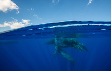 Pod of sperm whales socializing at the surface off the north western coast of Mauritius.