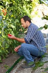 Glücklicher Bauer prüft die Reife der Tomaten