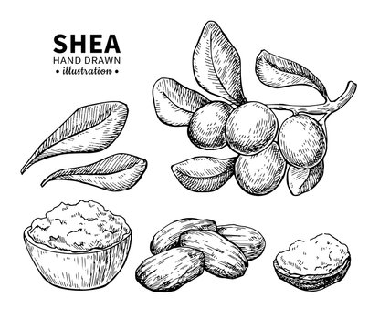Shea butter vector drawing. Isolated vintage illustration of nuts. Organic essential oil engraved style sketch.