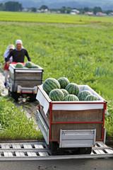 西瓜の収穫