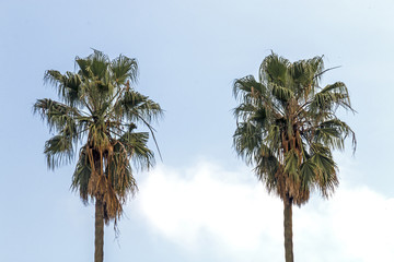 Dry Winter Palm Trees Against Blue Cloudy Sky Background