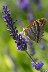 Orange butterfly on a purple blue lavender flower