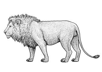 Lion illustration, drawing, engraving, ink, line art, vector