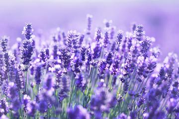 Photo sur Plexiglas Lavande close up shot of lavender flowers