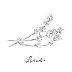 Lavender (Lavandula latifolia cineolifera) sketch vector illustration. Lavender hand drawing sketch for design