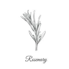 Rosemary sketch hand drawing. Rosemary (Rosmarinus cineoliferum) vector illustration