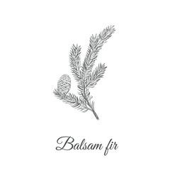 Obraz Balsamic fir sketch hand drawing. Fir balsamic (Abies balsamea) vector illustration - fototapety do salonu