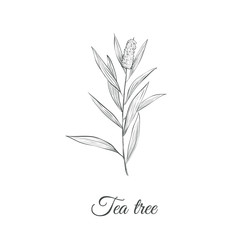 Tea tree sketch branch vector illustration. Tea tree