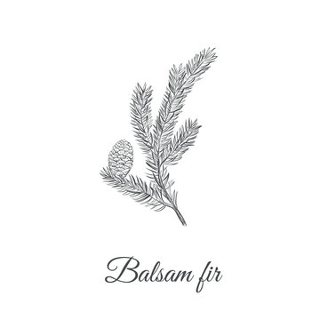 Balsamic fir sketch hand drawing. Fir balsamic (Abies balsamea) vector illustration
