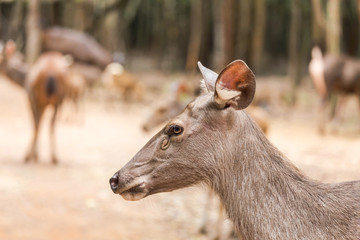 close up young sambar deer(Rusa unicolor, Cervus unicolor) relaxing in natural