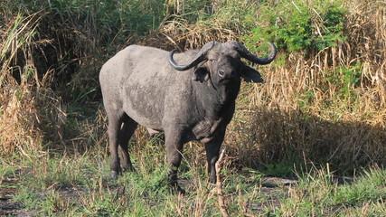Photo sur Aluminium Buffalo Large black buffalo on green grass.