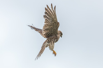 Falke im rüttelflug