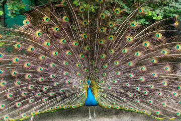 Close up of peacock showing its beautiful feathers - male peacock displaying his tail feathers - photographed at Saon Monastery, Dobrogea, Romania