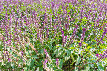 Flower basil