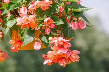 orange Garland Begonia flower
