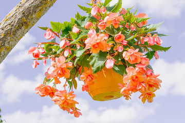 orange Garland Begonia flower