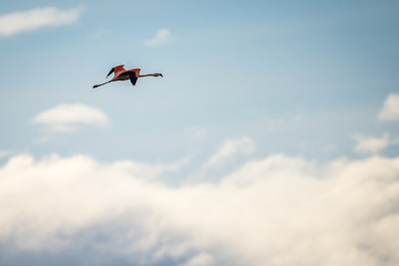 Flight of a pink flamingo in the sky. Shevelev.