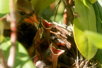 Female cardinal bird brings food to the nest to feed her three day old chicks