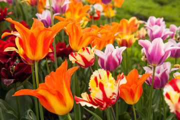 Several species colorful tulips in garden.