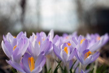 Purple crocus in spring. Blooming crocuses in the clearing. The plant on the saffron. Macro photography flowers on blur background.