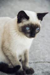 Precioso gatito siamés con ojos azules