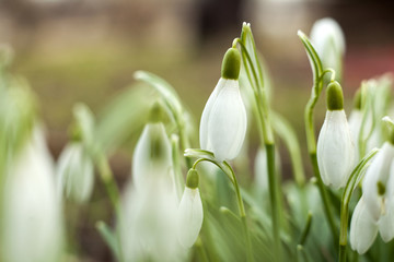 Beautiful snowdrops. The first sign of spring. The snow-white flowers in the shape of a bell.