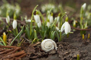 White snowdrop bell and empty snail shell.. Flower in the shape of a small bell. The first sign of spring.