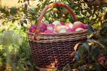 Wicker basket with apples near the tree